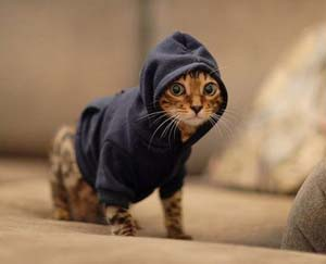 Cat with hoodie