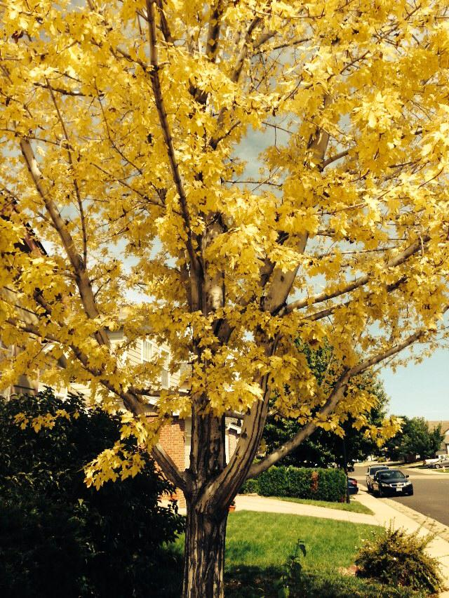 yellow tree Denver