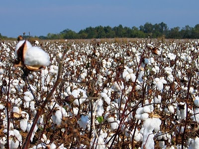 Cotton fields off Highway 51 in Mississippi