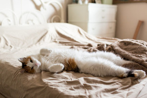 20140125-calico-cat-on-bed-1-M